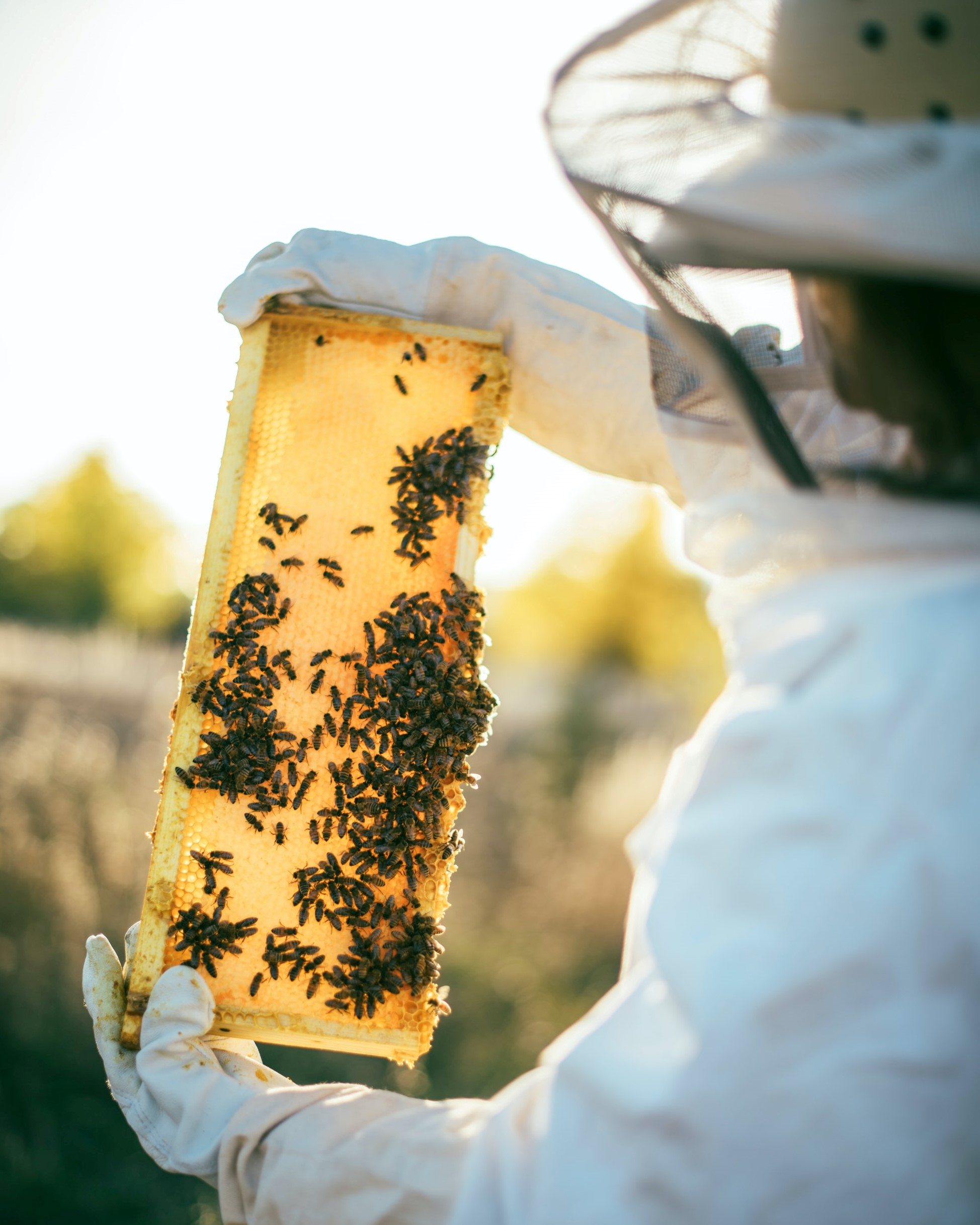A beekeeper in a white apiarist suit holding up a piece of honeycomb against the sunlight.
