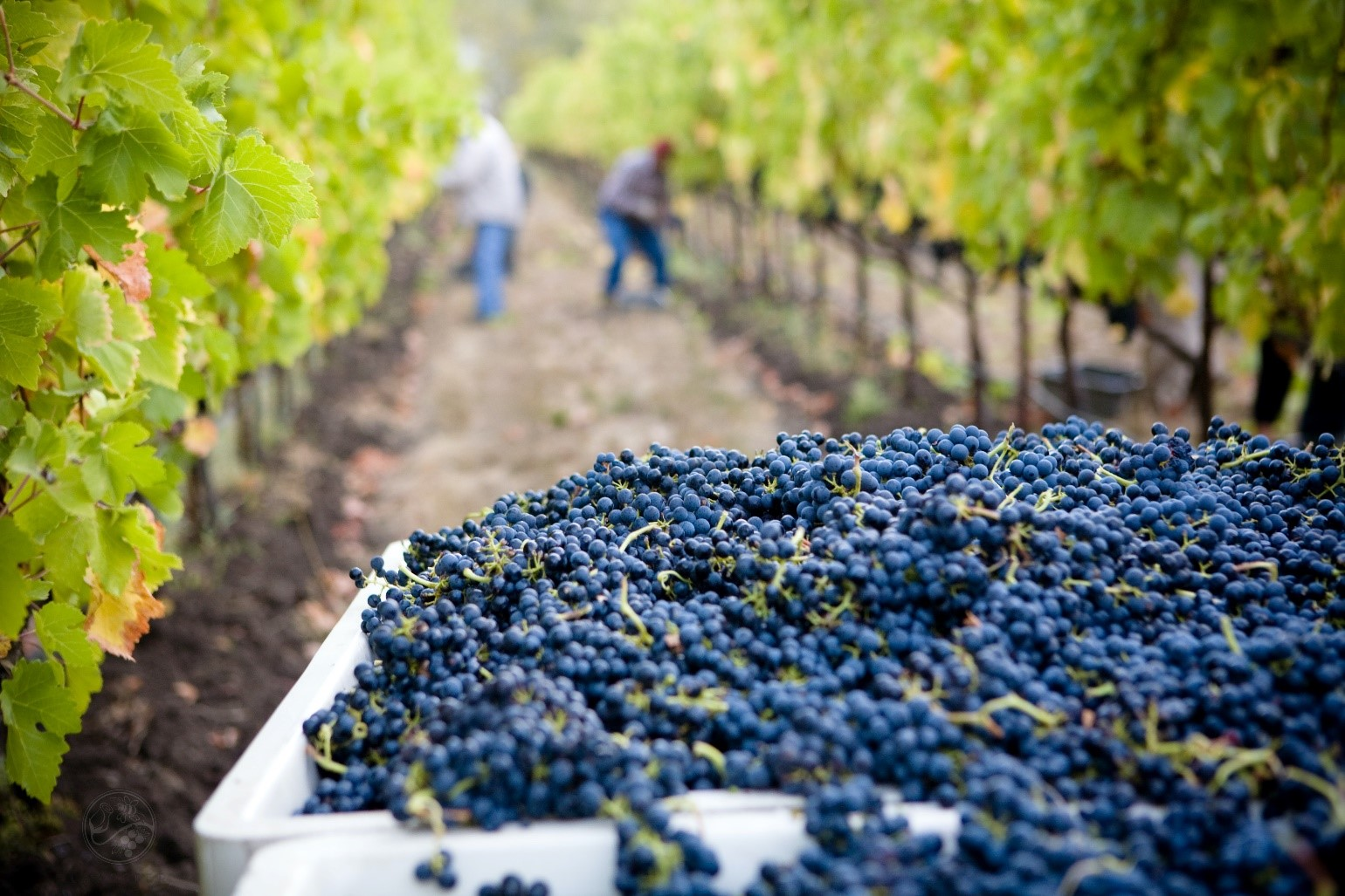 A vineyard during harvest with a crate full of grapes in the foreground.